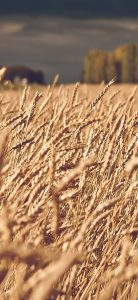 Landscapes-Nature-Fields-Wheat-1080x2340