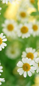 Many-White-Flowers-1080x2340